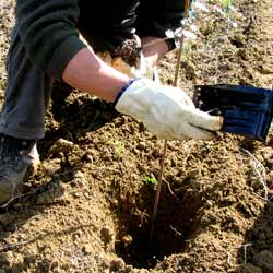 Planting truffle trees
