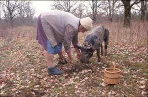 Cosecha de la trufa - Cerdo
