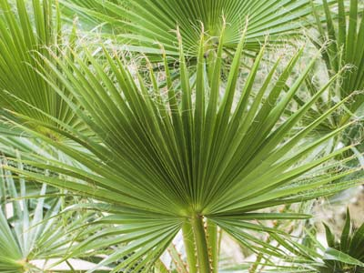 Soigner les palmiers d 39 int rieur - Entretien d un palmier d interieur ...