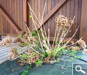 Taillez les hortensias macrophylla