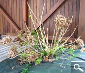 Poda de la hortensia macrophylla