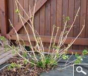 Poda das hortênsias macrophylla