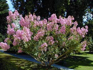 Pruning a Lagerstroemia (Summer Lilac)