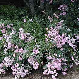 Pruning shrub roses