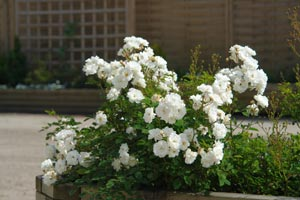 Pruning a bush rose