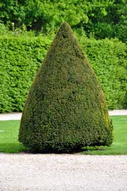 The art of Topiary - How to prune a cone shape or pyramid
