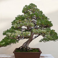 Know everything about bonsai