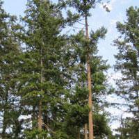 Douglas Fir Forestry