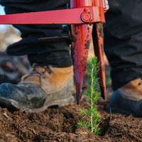 Planting cane