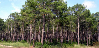 Maritime Pine Forestry