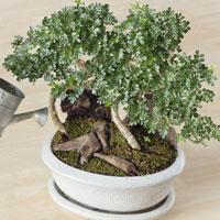 Plantas jovens para fazer bonsaï