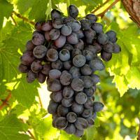 Viñas - Uvas