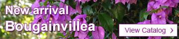 Bougainvillea Catalog