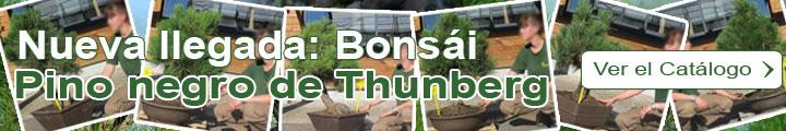 Bonsái Pino negro de Thunberg