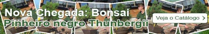 Bonsai Pinheiro negro Thunbergii