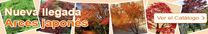 Arce japonés