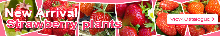 Strawberry plants catalog