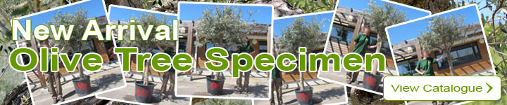 New arrival: Olive trees specimen