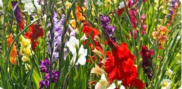 Bulbes à planter au printemps