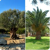 Olive trees and Palm trees