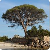 Pine Pinus Trees