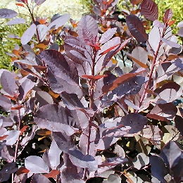 Purple Smoke Bush - Cotinus coggygria purpurea