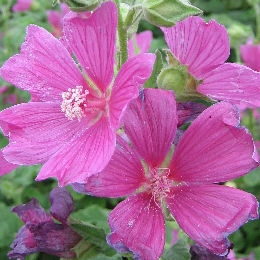 Lavat�re 'Burgundy Wine' - Lavatera 'Burgundy Wine' - Fleur