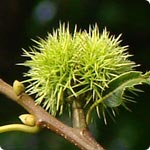 Sweet Chestnut - Castanea Sativa