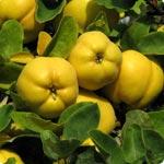 Quince tree - Cydonia Oblonga