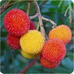 Edible Wild fruits