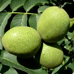 Common Walnut - Juglans Regia