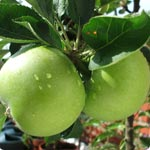 Apple trees - Malus Pumila
