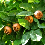 Common Medlar - Mespilus Germanica