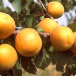 Albaricoqueros - Prunus Armeniaca
