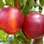 Nectarine trees - Prunus Persica
