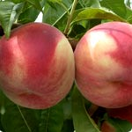Peach trees - Prunus Persica
