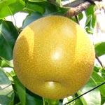 Nashi - Pyrus Pyrifolia