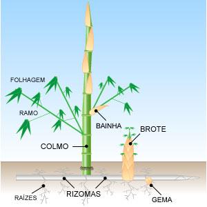 Bambus Invasivo