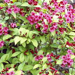 Weigelia 'Bristol Ruby' - Weigelia 'Bristol Ruby'
