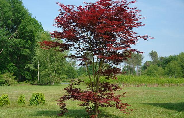 Erable du japon atropurpureum acer palmatum atropurpureum