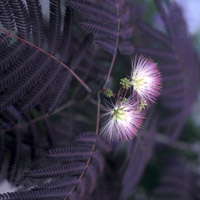 Silk tree - Albizia julibrissin