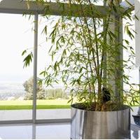 Acheter bonsai for Bambou interieur entretien