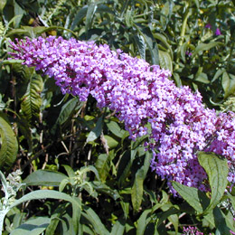 Buddleia or Butterfly bush 'Pink delight' - Buddleia davidii or Buddleia variabilis
