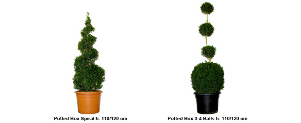 Topiary Potted Box Spiral height 110/120 cm, Topiary Potted Box 3-4 Balls height 110/120 cm
