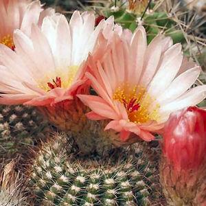 cactus notocactus tabularis vente cactus notocactus tabularis cactus notocactus tabularis. Black Bedroom Furniture Sets. Home Design Ideas