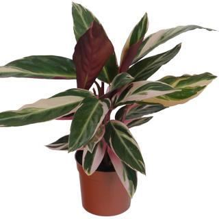 Calathea 39 triostar 39 c12 vente calathea 39 triostar 39 c12 calathea triostar - Steun de plantes d interieur ...