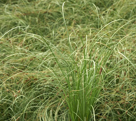 New Zealand Sedge 'Frosted Curls' - Carex comans 'Frosted Curls'