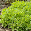 Knotted marjoram