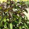 Peppermint Bergamota