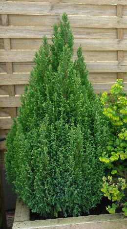 Cipr�s de Lawson 'Ellwood's Gold' - Chamaecyparis lawsoniana 'Ellwood's Gold'